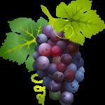 Grappe de raisin dans viticultures